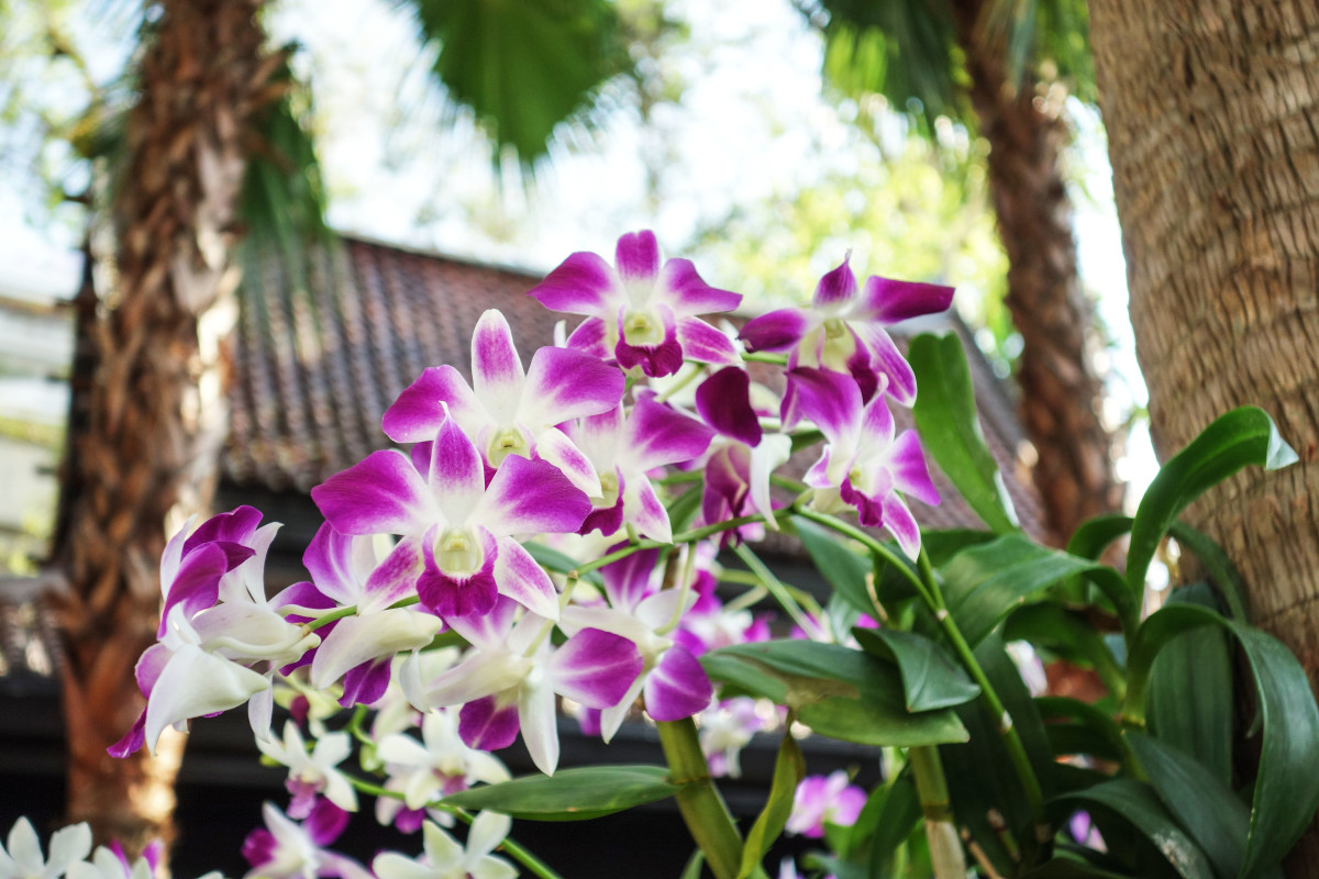 orkide_bangkok