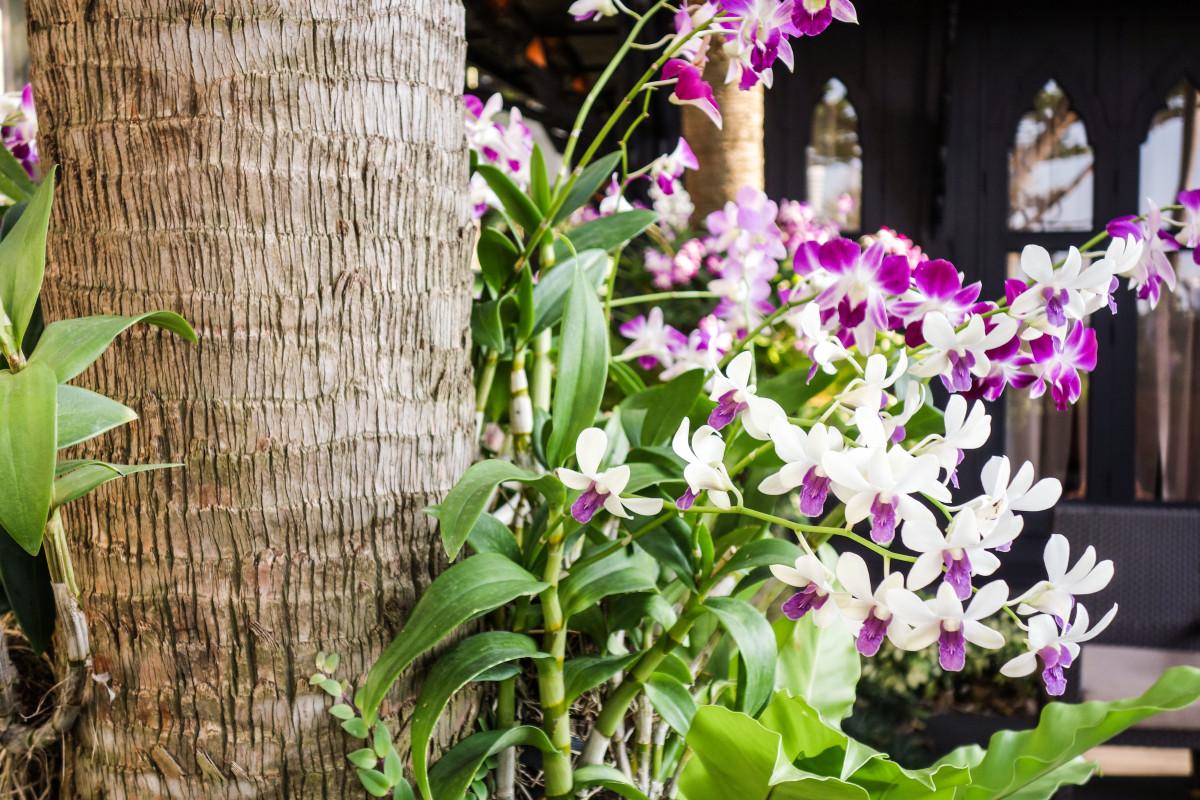 orkide_thailand