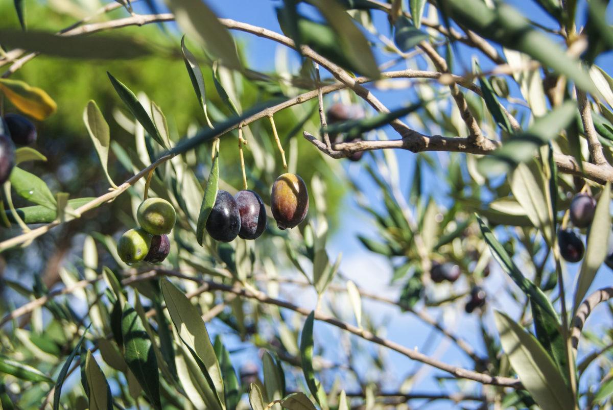 olivfält