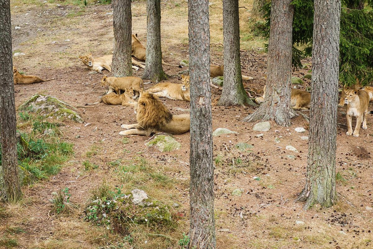 lejon kolmården