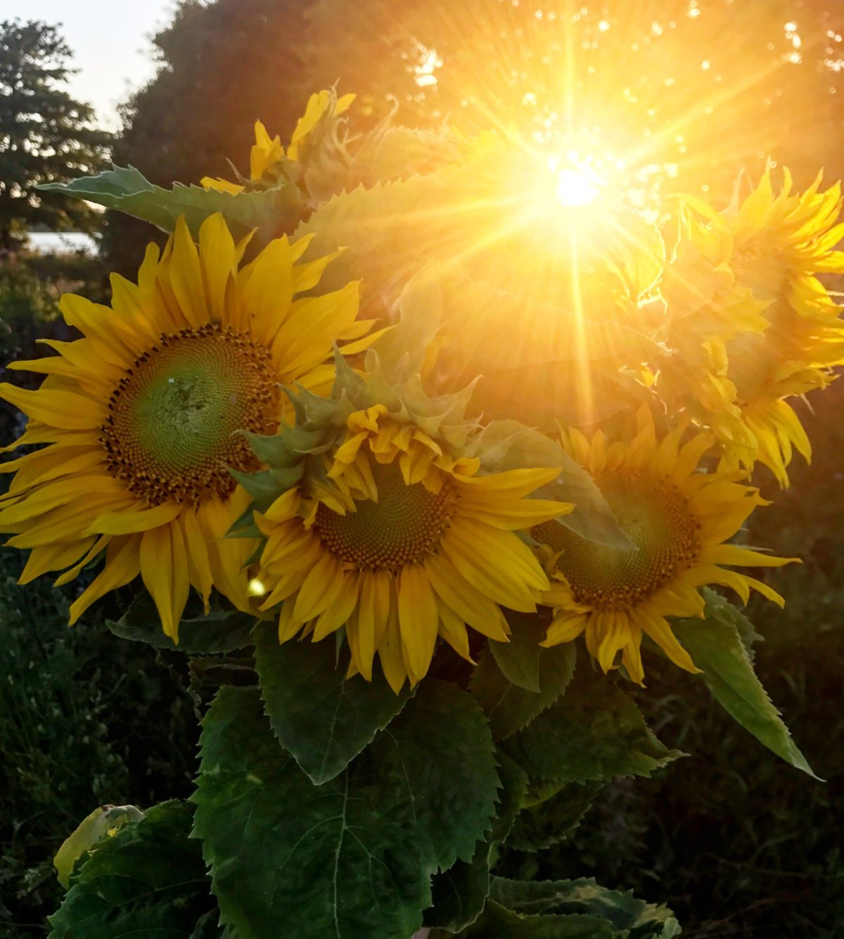solrosor sverige
