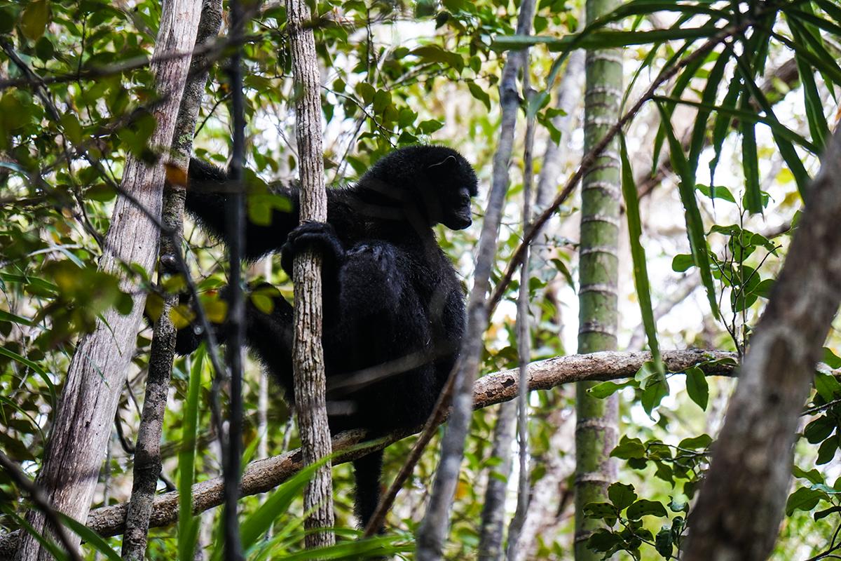 svart lemur madagaskar