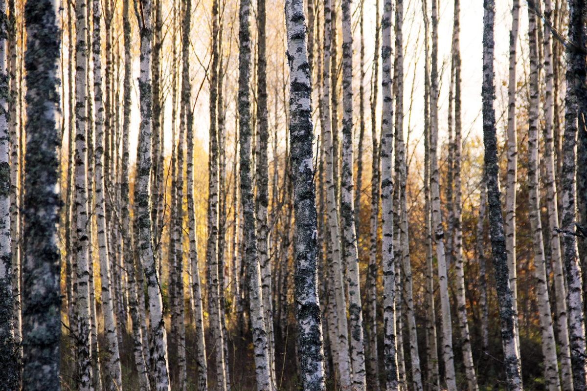 björkskog i Blekinge