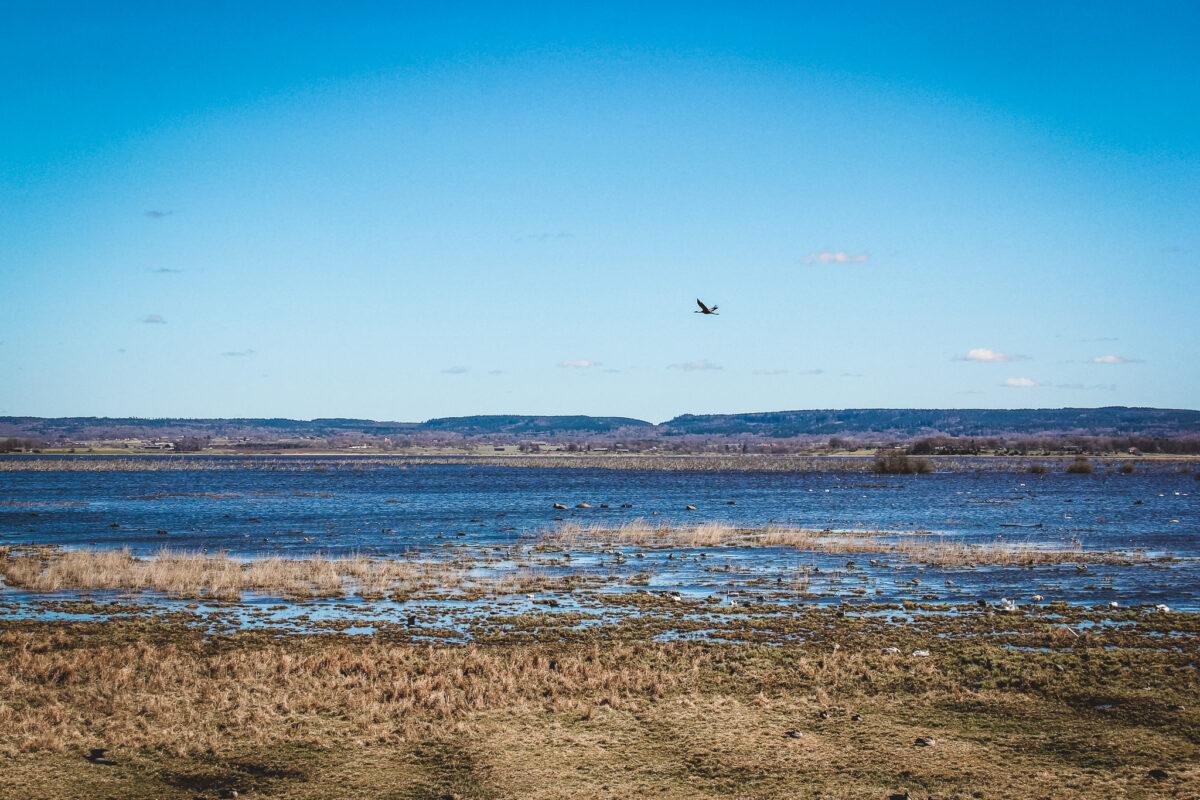 Hornborgasjön tranor